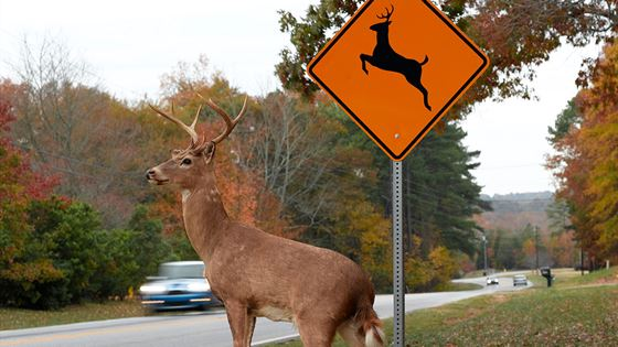 High Risk Car Insurance >> Colliding with deer is costly